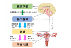 脳と女性ホルモン